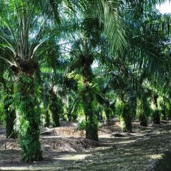 Oil Palm plantation in Malaysia.